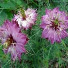 Guarantee Love In A Mist Rose  Nigella 50 Seeds