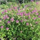 Guarantee Monarda Mintleaf Fistulosa Bee Balm 50 seeds