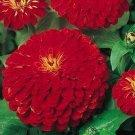 Guarantee Zinnia Cherry Queen 100 Seeds