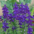 Guarantee Salvia Blue Monday 100 Seed
