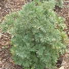 Guarantee Wormwood 100 Seeds
