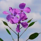 Guarantee Money Plant Violet (Lunaria Biennis)  50 Seeds