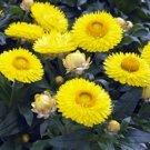 Guarantee Strawflower Helichrysum Yellow 200 Seeds