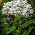 Guarantee Yarrow White 500 Seeds