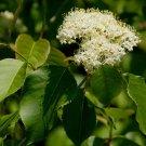 Guarantee nannyberry FLOWERING TREE edible fruit 15 seeds