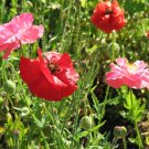 Guarantee poppy POPPY  SHIRLEY MIX corn poppy flower  16000 seeds
