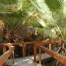 Guarantee palm CALIFORNIA FAN PALM washingtonia filifera 40 seeds