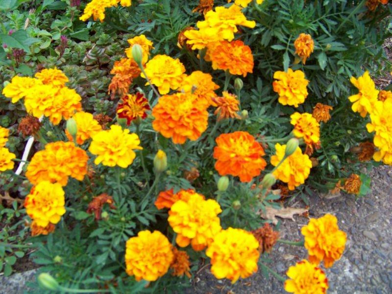 Guarantee marigold SPARKY MIX french marigold 335 seeds