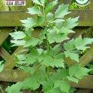 Guarantee Lovage  200 seeds  Non GMOOpen PollinatedMedicinal Herbs Vegetable seeds