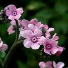 Guarantee 50  Pink Chinese Forget-Me-Not Flower Seeds  Self Seeding Annual  Cynoglossum