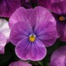 Guarantee 30  Viola Purple Ice Sorbet  Shade-Loving  Perennial Flower Seeds