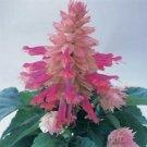 Guarantee 40  Salvia Bi-Color Burgundy Halo Drought-Tolerant Sage  Perennial Flower Seeds