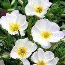 Guarantee 100  Pure White Evening Primula Primrose  Perennial Flower Seeds