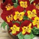 Guarantee 35  Sunburst Pansy Panola  Flower Seeds