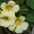 """Guarantee 25  Nasturtium """"Yetti"""" Creamy White  Annual Flower Seeds"""