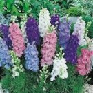 Guarantee 40  Ajacis Mix Delphinium Larkspur  Dwarf  Early-Blooming Annual