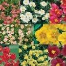 Guarantee 50  Helianthemum Rock Rose Mix  Evregreen Groundcover  Perennial Flower Seeds