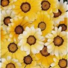 Guarantee 30  Orange Cream Gazania  Drought Resistant  Re-Seeding Annual Flower Seeds