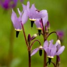Guarantee 25  Dodecatheon Purple Pink and White MIX  Perennial Flower Seeds