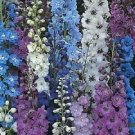 Guarantee 35  Connecticut Yankee Mix Delphinium Early Blooming  Annual Flower Seeds