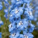 Guarantee 25  Sky Blue w White Bee Delphinium Flower Seeds  Perennial
