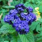 Guarantee 50  Heliotrope Mini Marine Blue Flower Seeds  Perennial