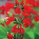 Guarantee 40  Saint John's Fire Salvia Flower Seeds  Annual