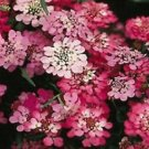 Guarantee 50  Candytuft Red Candy Cane Flower Seeds  Iberis Umbellata  Annual