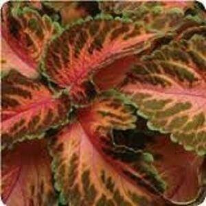 Guarantee 50  Coleus Wizard Coral Sunrise Flower Seeds  Annual