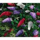 Guarantee 25  Buddleia Butterfly Bush Mix Flower Seeds  Perennial