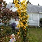 Guarantee sunflower MAXIMILIAN PERENNIAL sun flower yellow 235 seeds