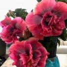 Guarantee 20 Double Purple Pink Hibiscus Seeds Hardy Perennial Flower Garden Flowers 375