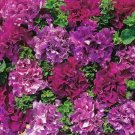 Guarantee 50 Double Pink Purple Petunia Seeds Containers Hanging Baskets Flowers Seed 975