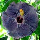 Guarantee 20 Rare Purple Hibiscus Seeds Hardy Tropical Flower Garden Exotic Perennial Seed