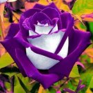 Guarantee 10 White Purple Rose Seeds Flower Bush Perennial Shrub Garden Home Exotic 264