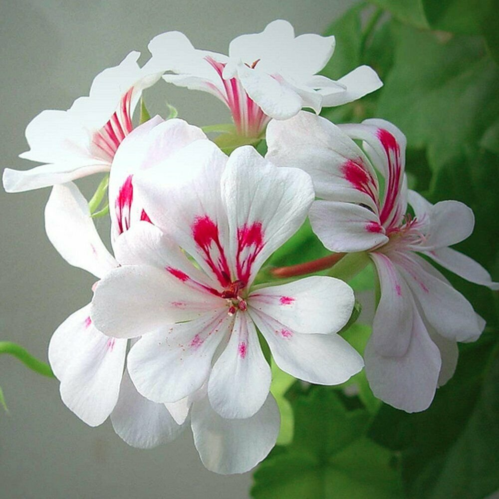 Guarantee 25 Blizard White Geranium Seeds Hanging Basket Perennial Flowers Flower Seed 981