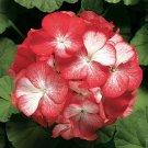 Guarantee 25 Red Geranium Seeds Hanging Basket Perennial Flowers Shrub Flower Seed 205