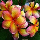 Guarantee 5 Pink Orange Plumeria Seeds Plants Flower Lei Hawaiian Perennial Flowers 190