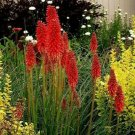Guarantee 25 Bright Red Hot Poker Seeds Torch Lily Flower Kniphofia Uvaria Perennial 952