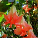 Guarantee 10 Orange Angel Trumpet Seeds Brugmansia Datura Flower Fragrant Seed Garden 755