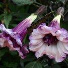 Guarantee 10 Double Purple Angel Trumpet Seeds Brugmansia Datura Flower Fragrant Small 300