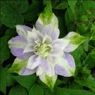 Guarantee 25 Double Purple Green Clematis Seeds Flowers Climbing Perennial Seed Flower 776