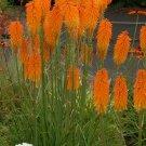 Guarantee 25 Orange Poker Seeds Torch Lily Wild Flower Kniphofia Uvaria Perennial Seed 398