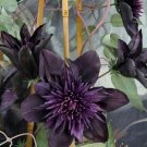 Guarantee 25 Double Purple Clematis Seeds Large Bloom Climbing Perennial Garden Flower 510