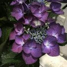 Guarantee 5 Black Diamond Hydrangea Seeds Perennial Hardy Garden Shrub Flower Bush 457