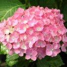 Guarantee 5 Hamburg Hydrangea Seeds Perennial Hardy Garden Shrub Flower Flowers Seed 455