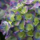 Guarantee 5 Citylime Rio Hydrangea Seeds Perennial Hardy Garden Shrub Flower Bush Seed 451