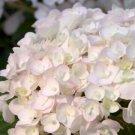 Guarantee 5 Blushing Bride Hydrangea Seeds Perennial Hardy Garden Shrub Flower Bush 444