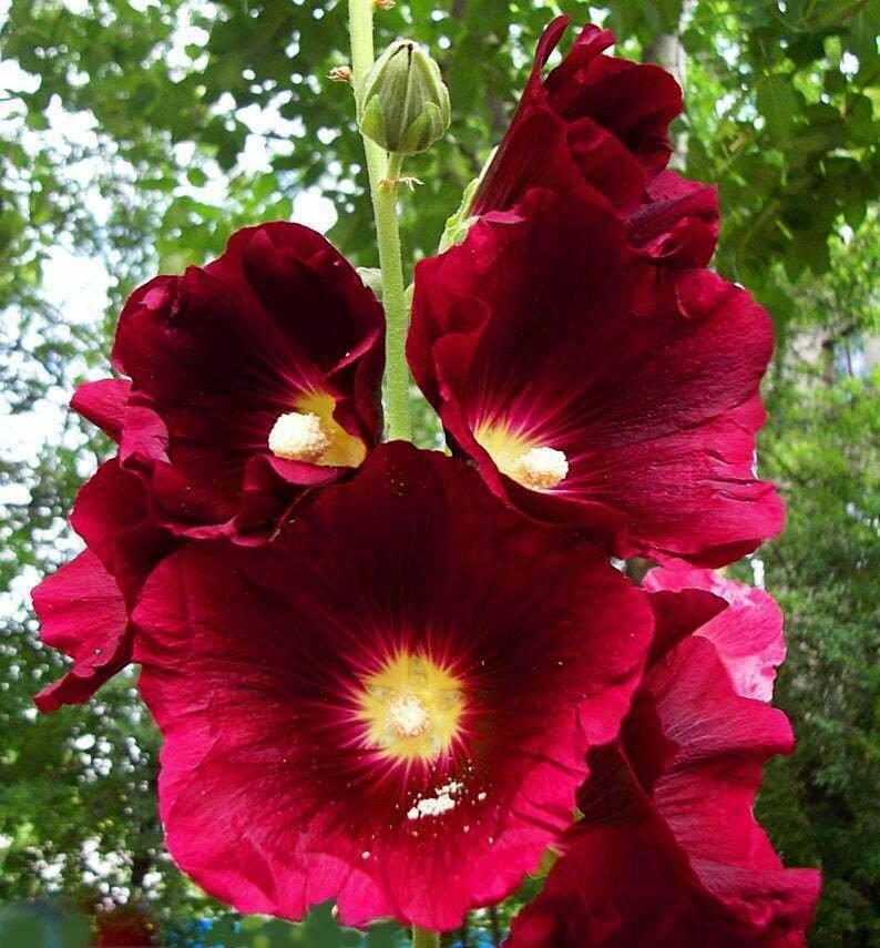 Guarantee 25 Burgundy Red Hollyhock Seeds Perennial Flower Garden Flowers Spring Seed 229