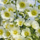 Guarantee 25 Halo White Yellow Hollyhock Seeds Perennial Flower Garden Flowers Seed 131